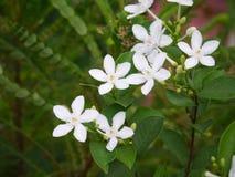 Antidysenterica del wringhtia o flor blanco del pitchaya del phut en Tailandia Foto de archivo
