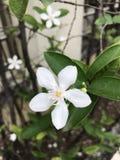 Antidysenterica Wrightia ή αρκτικό χιόνι ή Pudpitchaya ή άσπρο λουλούδι αγγέλου Στοκ Φωτογραφίες