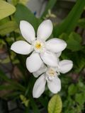 Antidysenterica Wrightia, όμορφο άσπρο λουλούδι Στοκ εικόνα με δικαίωμα ελεύθερης χρήσης