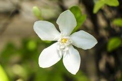 Antidysenterica Wrigthia, цветок Angiosperms Стоковое Фото