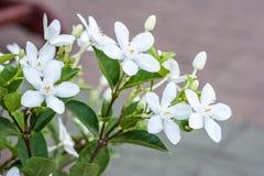 Antidysenterica Wringhtia, Apocynaceae Στοκ Φωτογραφίες