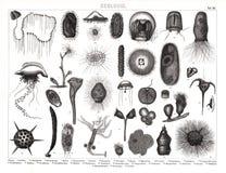 1874 antieke Bilder-Druk van Diverse Planktonspecies Royalty-vrije Stock Afbeelding