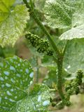 Antifungal grapevine protection. Young cluster on grapevine sprayed with Bordeaux mixture to protect against fungal infections Stock Images