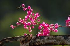 Antigon blommar på det gamla stålstaketet Arkivbild