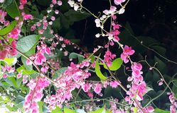 Antigonon-leptopus, allgemein bekannt als mexikanische Kriechpflanze stockfotos
