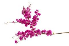 Antigonon leptopus lub Różowy Koralowy winograd Fotografia Stock