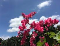 Antigonon leptopus menchii mały kwiat kwitnie na krzaku w ogródzie pod niebieskim niebem obrazy royalty free