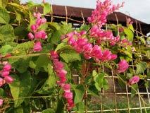 Antigonon leptopus / Mexicreeper flower Stock Photo