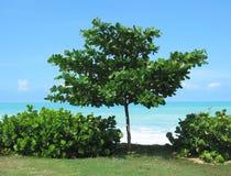 antiguian结构树 免版税库存照片