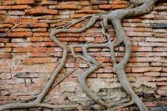 Antiguo, Boomboomstammen beklimt op de rode bakstenen muur Stock Foto's