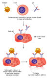 Antikörper Tätigkeit und Anaphylaxis Stockfotografie