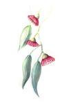 Antik illustration för färg för stilGumnut vatten Arkivfoto