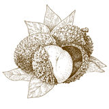 Antike Illustration des Stiches der Litschi stock abbildung