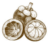 Antike Illustration des Stiches der Mangostanfrucht Stockbild
