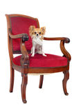 Antiker Stuhl und Chihuahua stockfotografie