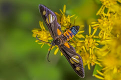 Antilion, ζωύφιο Myrmeleontidae Στοκ φωτογραφία με δικαίωμα ελεύθερης χρήσης