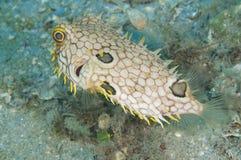 Antillarum van burrfish-Chilomycterus van het Web royalty-vrije stock foto