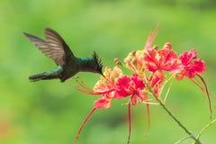 Antillean crested колибри, птица стоковое фото rf