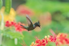 Antillean crested hummingbird, bird