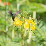 Antillean Crested Hummingbird (Orthorhyncus cristatus) Royalty Free Stock Photo