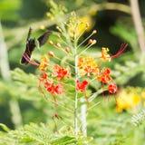 Antillean Crested Hummingbird (Orthorhyncus cristatus) Royalty Free Stock Image