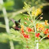 Antillean Crested Hummingbird (Orthorhyncus cristatus) Royalty Free Stock Photography