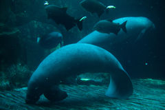 Antillean manatee (Trichechus manatus manatus). Stock Photography