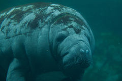 Antillean manatee (Trichechus manatus manatus). Royalty Free Stock Photography