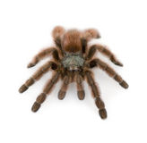 Antilles pinktoe tarantula. Avicularia metallica, against white background, studio shot royalty free stock photography