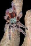Antilles Pinktoe Tarantula. Close-up of a perched Antilles pinktoe tarantula (Avicularia versicolor Royalty Free Stock Photos