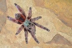 Antilles Pinktoe Tarantula Stock Image