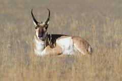 Antilocapra антилопы Pronghorn Американа Стоковое Фото