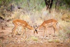 Antilop är skärmytslingen i savannahen av Kenya arkivfoto