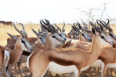antilop Arkivfoto