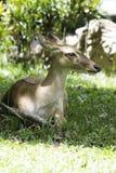 Antilop Fotografering för Bildbyråer