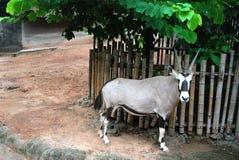 Antilop Arkivbilder