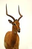 antilop Arkivfoton