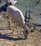 Antilop Royaltyfria Foton