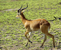 Antilop bara Royaltyfri Bild