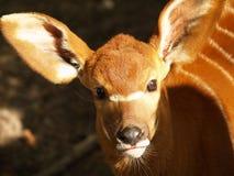 antilop behandla som ett barn Arkivbilder