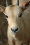 antilop behandla som ett barn frågvist fotografering för bildbyråer