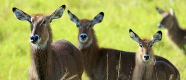 Antilop går tillsammans royaltyfria bilder