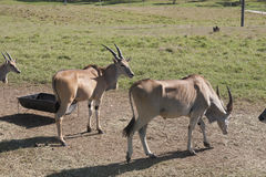 Antilop i det öppet, Villahermosa, tabasco, Mexico Royaltyfri Foto