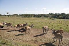 Antilop i det öppet, Villahermosa, tabasco, Mexico Royaltyfria Bilder