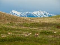 Antilop i ett fält med Snowcapped berg arkivfoton