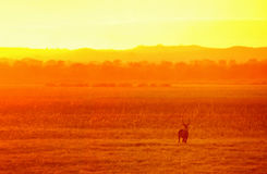 Antilop i ett guld- ljus i nationalparken Liwonde malawi Royaltyfri Bild