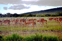 Antilop i Maasaimara Kenya Arkivfoto