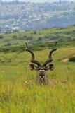 Antilop i safari parkerar i Sydafrika Arkivfoton
