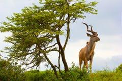 Antilop i Sydafrika Arkivfoton
