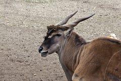 Antilop i ZOO 3 Arkivbild